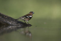 Chaffinch, Fringilla coelebs, Royalty Free Stock Images