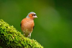 Chaffinch, Fringilla coelebs, orange songbird sitting on the nice green lichen tree branch with, little bird in nature forest habi. Tat Royalty Free Stock Images