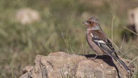 Chaffinch on Rock Looking Left. Chaffinch, Fringilla coelebs, is perching on rock looking left royalty free stock photos