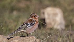 Chaffinch on Rock Looking Right. Chaffinch, Fringilla coelebs, is perching on rock looking right royalty free stock photo