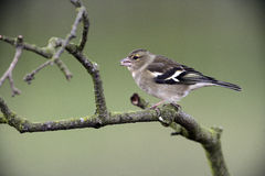 Chaffinch, Fringilla coelebs Stock Photography
