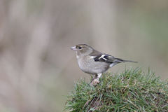 Chaffinch, Fringilla coelebs Royalty Free Stock Photos