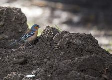 Chaffinch Fringilla coelebs. Spotted outdoors in Dublin, Ireland Stock Photos