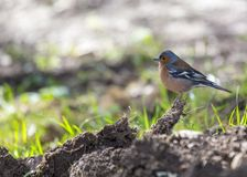 Chaffinch Fringilla coelebs. Spotted outdoors in Dublin, Ireland Stock Images