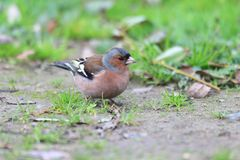 Chaffinch  in Turkey Royalty Free Stock Image