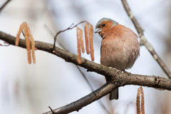 Chaffinch (Fringilla coelebs) Royalty Free Stock Photos