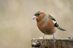 Chaffinch Fringilla coelebs on the winter bird feeder Royalty Free Stock Photo