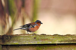 Chaffinch garden bird Royalty Free Stock Photo