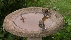 Chaffinch, Goldfinch and Blue Tit standing in and drinking from a birdbath. stock video footage