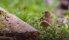 Chaffinch on ground Royalty Free Stock Photography