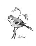 Chaffinch illustration. Pen and ink illustration of Chaffinch Royalty Free Stock Photo