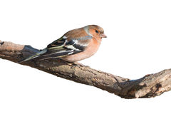 Chaffinch isolated on white background Stock Photo