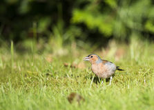 Chaffinch. A chaffinch on a lawn Stock Image