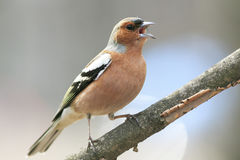 Chaffinch leaping singing the song in spring Park Royalty Free Stock Photo