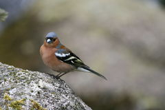 Chaffinch, a little colourful garden bird found in the UK. The chaffinch (Latin name: Fringilla coelebs) is the UK's second commonest breeding bird, and is Royalty Free Stock Photo