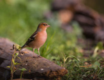 Chaffinch on log Royalty Free Stock Images
