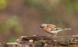 Chaffinch on log Royalty Free Stock Photo
