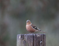 Chaffinch looking Royalty Free Stock Photography
