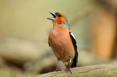 Chaffinch loudly sings, sitting on a fallen tree. Chaffinch in the spring loudly sings, sitting on a fallen tree royalty free stock image