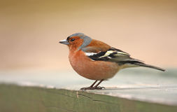 Chaffinch male Royalty Free Stock Image