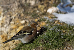 Chaffinch Male. A male chaffinch is looking for food on grass royalty free stock photos