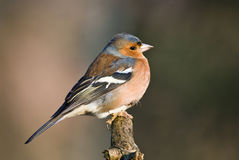 Chaffinch (male) Royalty Free Stock Photography