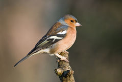 Chaffinch (male) royalty free stock photo
