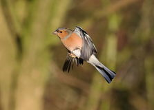Chaffinch. Male Chaffinch at Calke Abbey,Derbyshire royalty free stock photos