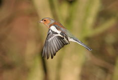 Chaffinch. Male Chaffinch at Calke Abbey,Derbyshire stock photos
