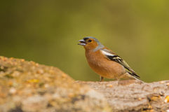 Chaffinch feeding rock surface Stock Photos