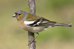 Chaffinch male  / Fringilla coelebs Stock Photos