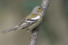 Chaffinch male  / Fringilla coelebs Royalty Free Stock Images
