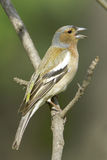 Chaffinch male  / Fringilla coelebs Stock Photo