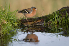 Chaffinch Male Royalty Free Stock Images