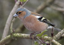 Chaffinch. Male chaffinch perched on a branch Stock Image