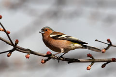 Chaffinch on spring branch Stock Images