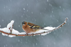 The Chaffinch Stock Image