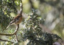 Chaffinch (Male) Royalty Free Stock Image