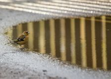 Chaffinch (Male) Stock Photos