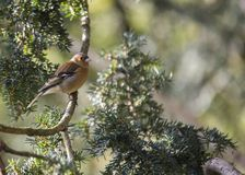 Chaffinch (Male) Stock Images