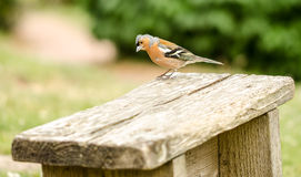 Chaffinch Male Stock Photography