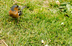 Chaffinch Male Stock Photo