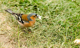 Chaffinch Male Royalty Free Stock Photography