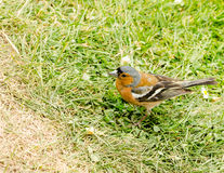 Chaffinch Male Stock Images