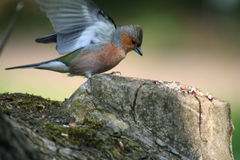 Chaffinch males. When landing on a tree stump Stock Images