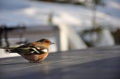 Chaffinch mareado Foto de archivo