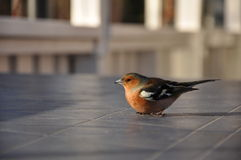 Chaffinch mareado Fotos de archivo