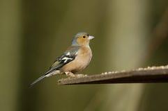 Chaffinch maschio Fotografia Stock