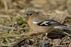 Chaffinch maschio Immagini Stock