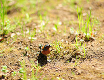 Chaffinch on the meadow royalty free stock photos